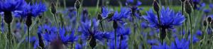Blomsterarrangemang i blått