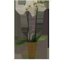 Vit phaleonopsis orchide