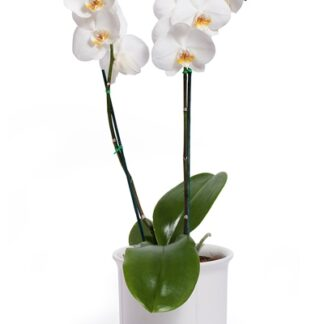 vit-phaleonopsis-i-kruka