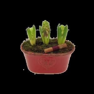 Söta tre hyacinter i ett skål